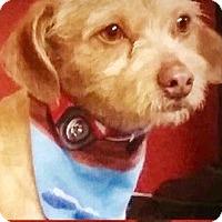 Adopt A Pet :: Bowie-ADOPTION PENDING - Boulder, CO