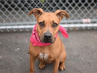 American Pit Bull Terrier Mix Dog for adoption in Manhattan, New York - Roxy