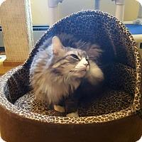 Domestic Longhair Cat for adoption in Salisbury, Massachusetts - Little Prince
