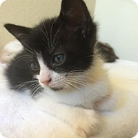 Adopt A Pet :: Zatana - Austin, TX