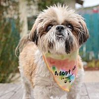Shih Tzu Dog for adoption in Pacific Grove, California - Dixie Chick