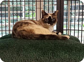Siamese Cat for adoption in Knoxville, Tennessee - Javi