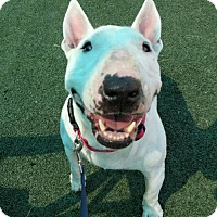 Bull Terrier Mix Dog for adoption in Dallas, Texas - Cali