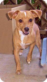 Chihuahua Mix Dog for adoption in Warner Robins, Georgia - Rue