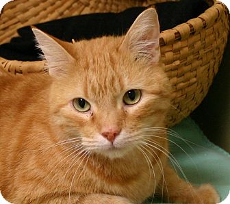 Domestic Shorthair Cat for adoption in Hastings, Nebraska - Garfield