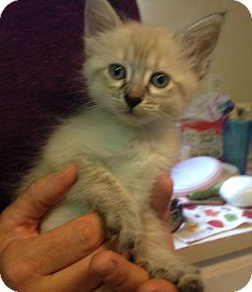Domestic Shorthair Kitten for adoption in Temecula, California - Jessica