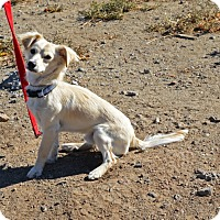 Chihuahua/Papillon Mix Dog for adoption in Gardnerville, Nevada - Rowdy