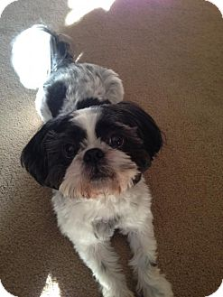 Shih Tzu Mix Dog for adoption in Euless, Texas - Peter O'Brien