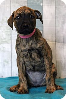 Boxer Mix Puppy for adoption in Waldorf, Maryland - Katie