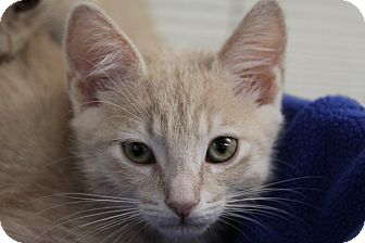 Domestic Shorthair Kitten for adoption in Sarasota, Florida - Paploo