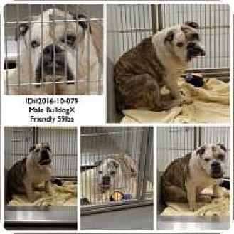 English Bulldog Mix Dog for adoption in Alpharetta, Georgia - BubbaGump