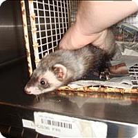Ferret for adoption in Raleigh, North Carolina - Ferrah