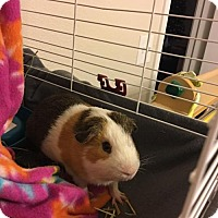 Guinea Pig for adoption in Odessa, Texas - Ace