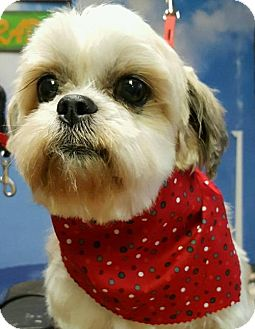 Shih Tzu Dog for adoption in Smithfield, Pennsylvania - MARLO - ADOPTION PENDING