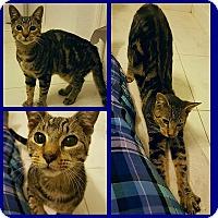 Adopt A Pet :: Cedric - Tampa, FL