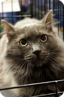 Persian Cat for adoption in Madisonville, Louisiana - Smudge
