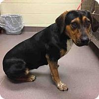 Adopt A Pet :: A028350 - Norman, OK