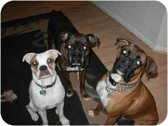 Boxer Dog for adoption in Phoenix, Arizona - foster a boxer