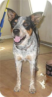 Australian Cattle Dog Mix Dog for adoption in Golden Valley, Arizona - Buddy