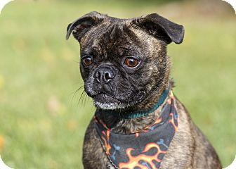 boston terrier pug mix rocco adopted dog ile perrot qc boston terrier pug mix 9442