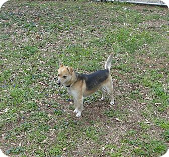Beagle/Shepherd (Unknown Type) Mix Dog for adoption in North Brunswick, New Jersey - Ernie