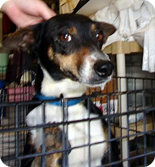 Jack Russell Terrier Mix Dog for adoption in Daleville, Alabama - Bella