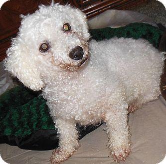Maltese/Poodle (Miniature) Mix Dog for adoption in MINNEAPOLIS, Kansas - Princess