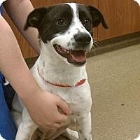 Adopt A Pet :: Annabelle - Brattleboro, VT