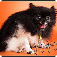 Adopt A Pet :: JayJay - Orange, CA