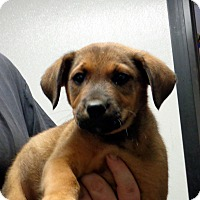 Adopt A Pet :: Rambler - baltimore, MD