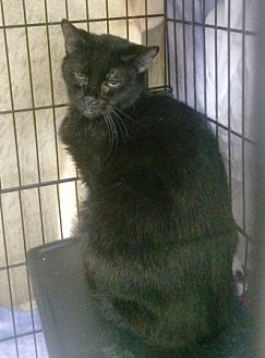 Domestic Shorthair Cat for adoption in Ogden, Utah - Jewel