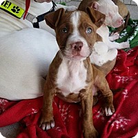 Adopt A Pet :: Jethro Tull - Colonial Heights, VA