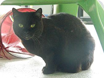 Domestic Shorthair Cat for adoption in Jupiter, Florida - Moonlight
