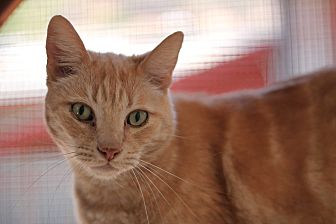 Domestic Shorthair Cat for adoption in El Cajon, California - Pickle