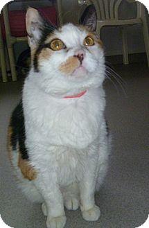 Domestic Shorthair Cat for adoption in Hamburg, New York - Angel