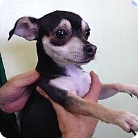 Adopt A Pet :: EVE - Lakewood, CA