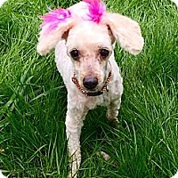 Adopt A Pet :: MILLIE - Precious senior needs a loving home - Bainbridge Island, WA