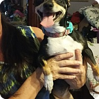 Miniature Pinscher/Fox Terrier (Smooth) Mix Dog for adoption in cleveland, Ohio - Ginger