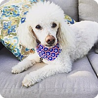 Poodle (Miniature) Mix Dog for adoption in Alpharetta, Georgia - Perrie
