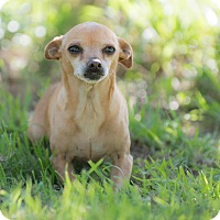 Chihuahua Mix Dog for adoption in La Jolla, California - Mimi