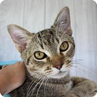 Domestic Shorthair Cat for adoption in Troy, Illinois - Blackbeard