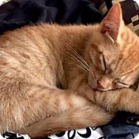 Adopt A Pet :: TIGGER  ORANGE         TABBY  KITTEN - Philadelphia, PA