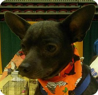 Chihuahua Mix Dog for adoption in Winder, Georgia - Auggie