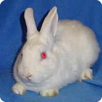 Adopt A Pet :: Marshmallow - Woburn, MA