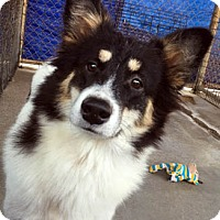 Sheltie, Shetland Sheepdog Mix Dog for adoption in Ventura, California - Angelina