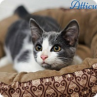 Domestic Shorthair Kitten for adoption in Columbia, Tennessee - Atticus