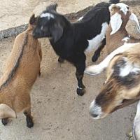 Adopt A Pet :: Baby Goats Nubian - Citrus Springs, FL