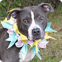 Adopt A Pet :: Molly Mae - Glastonbury, CT