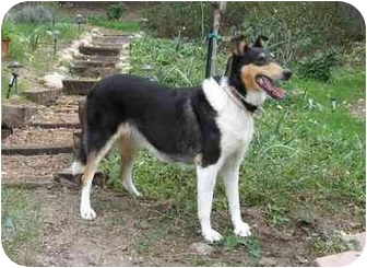 Collie Dog for adoption in San Diego, California - Ziggy