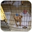 Photo 1 - Corgi/Corgi Mix Puppy for adoption in Lomita, California - Rally